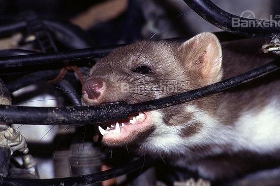Dây điện bọc đậu tương: Nguyên nhân thu hút chuột cắn phá xe - 1
