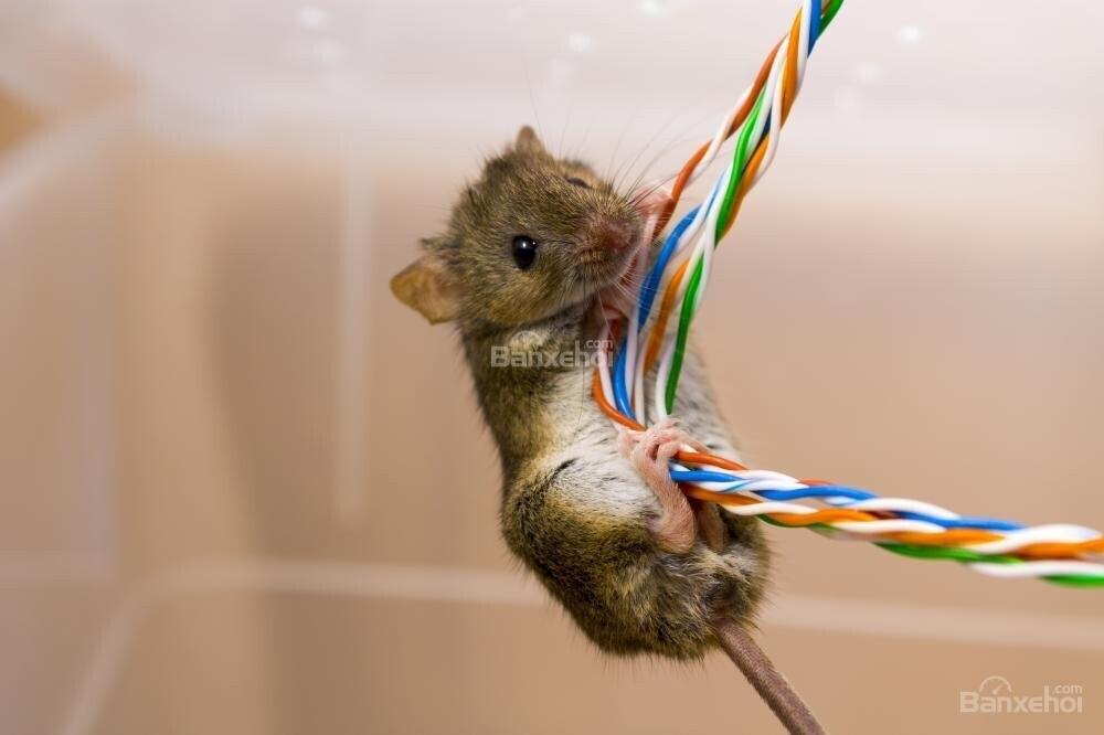 Dây điện bọc đậu tương: Nguyên nhân thu hút chuột cắn phá xe - 3